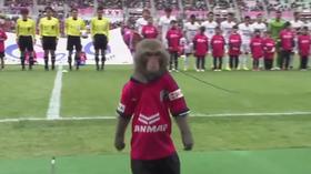 Na Sportowo: Małpa rozpoczyna mecz piłkarski, kibic po zawale cieszy się z gola [WIDEO]